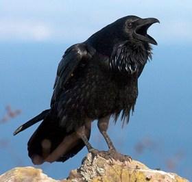 common_raven_2