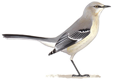 Audubon Northern Mockingbird