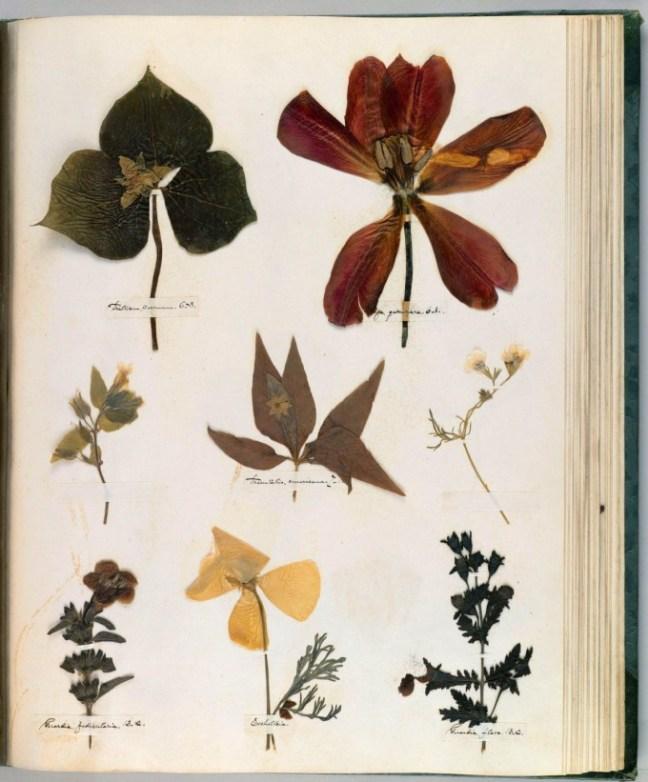 emilydickinson_herbarium35